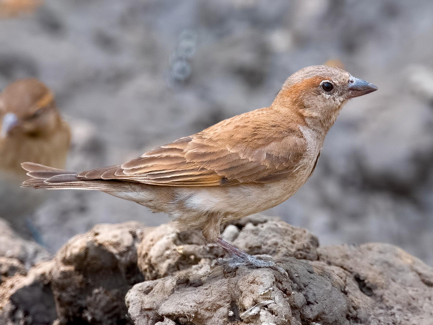Sahel Bush Sparrow - Shailesh Pinto