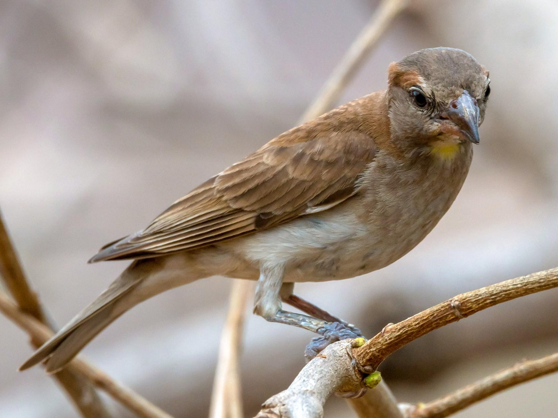 Sahel Bush Sparrow - Eric francois Roualet