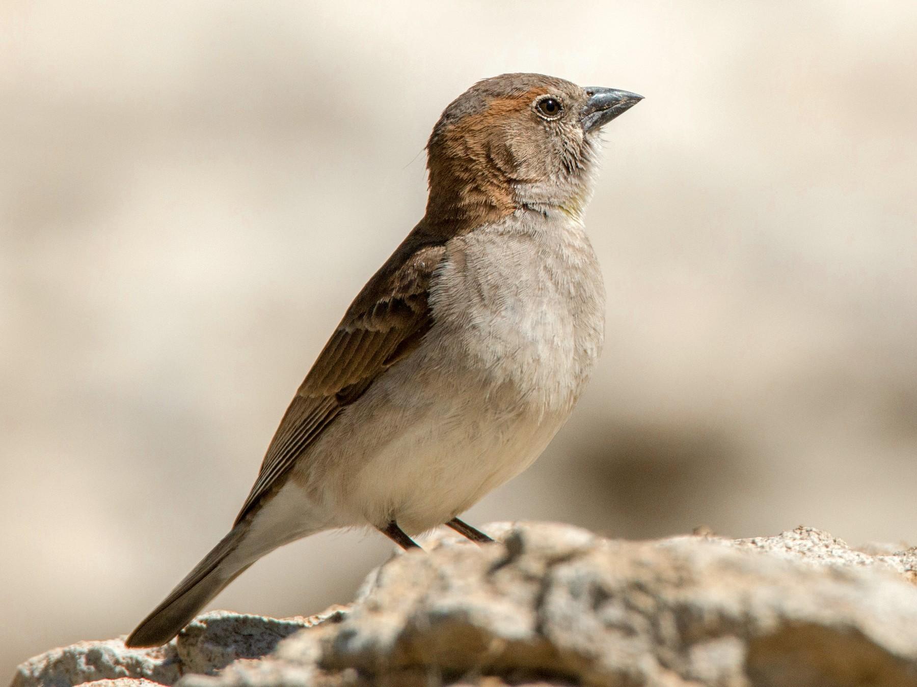 Sahel Bush Sparrow - Ian Davies