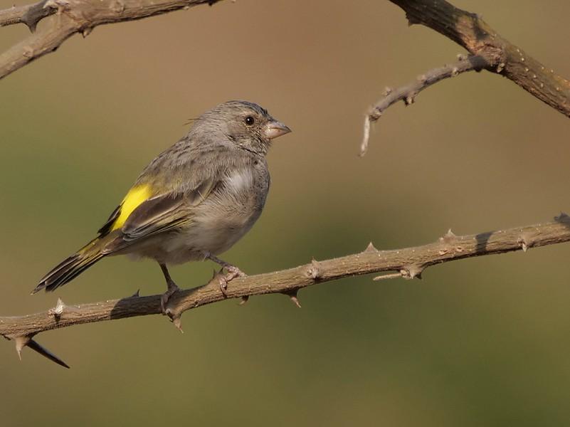 Yellow-throated Serin - Nik Borrow