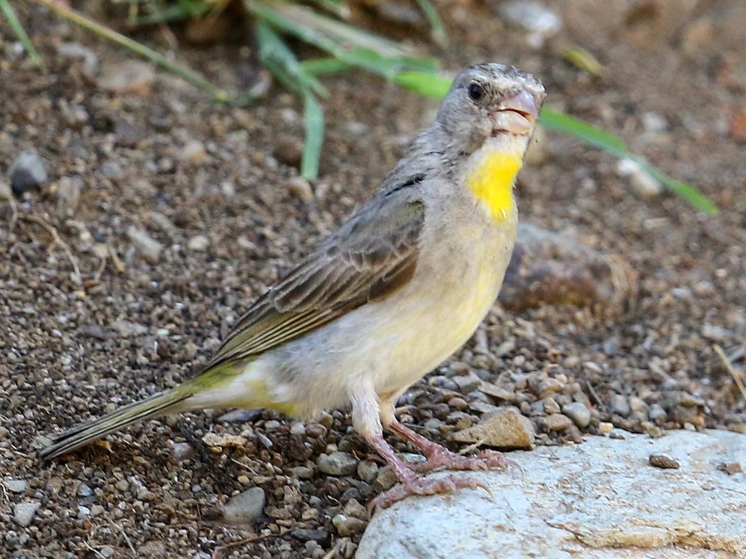 Yellow-throated Serin - Fanis Theofanopoulos (ASalafa Deri)