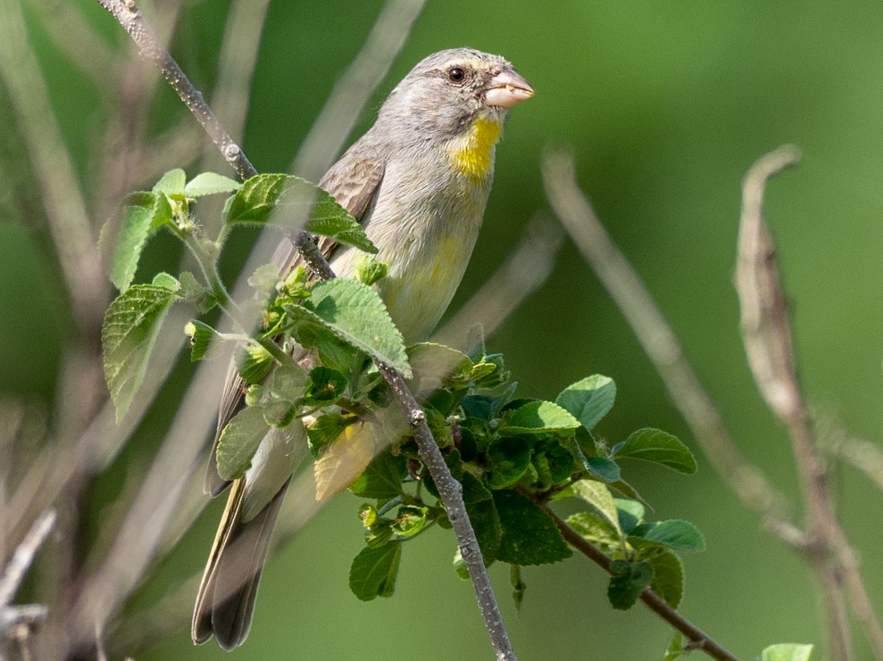 Yellow-throated Serin - Forest Jarvis