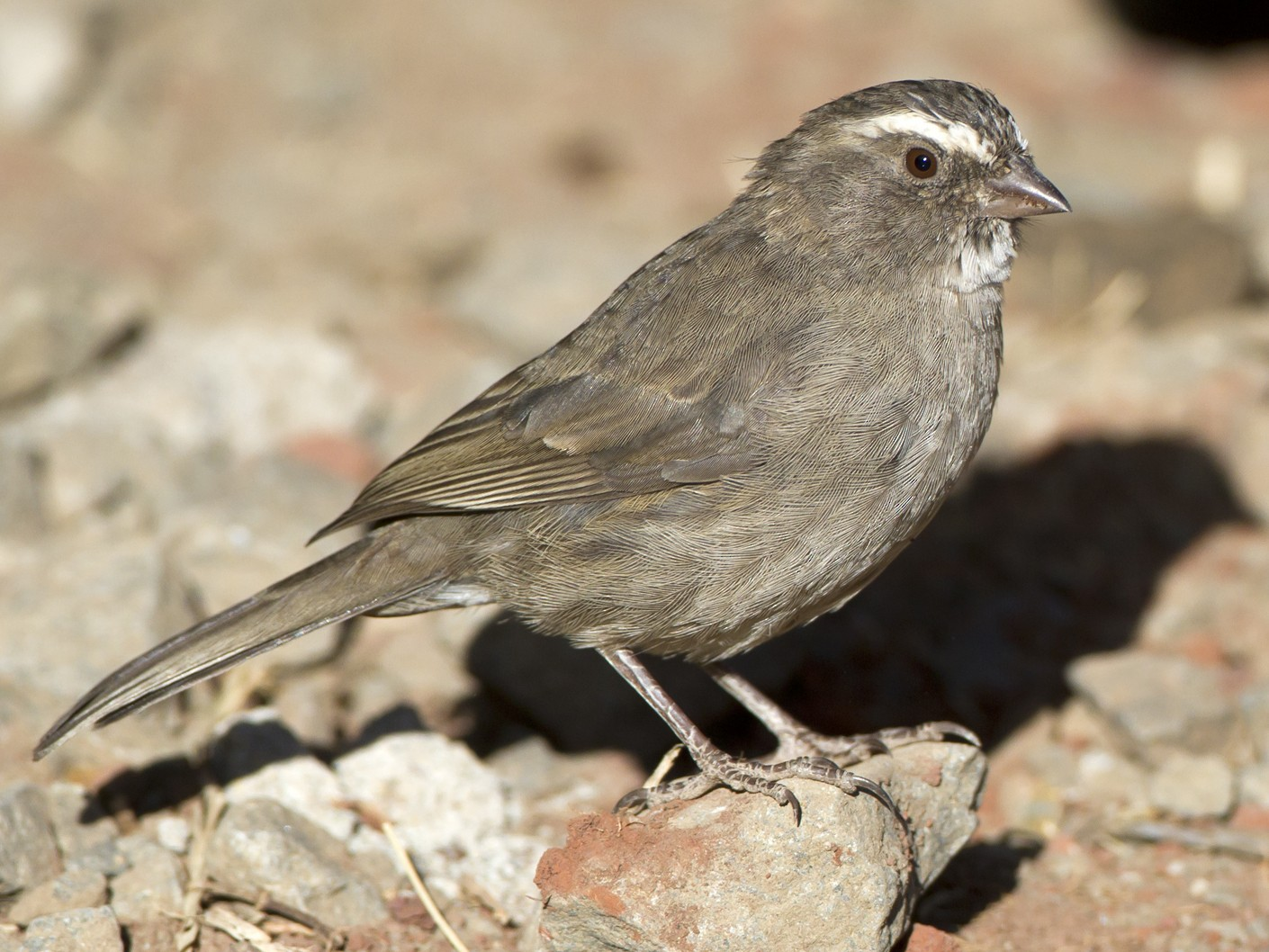 Brown-rumped Seedeater - Marco Valentini