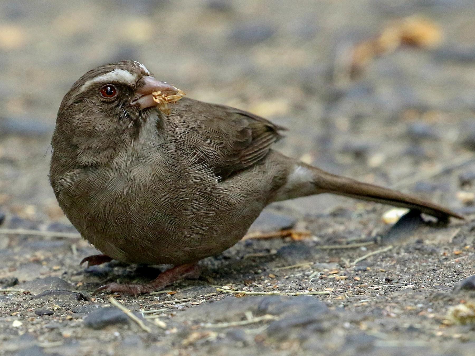 Brown-rumped Seedeater - Fanis Theofanopoulos (ASalafa Deri)
