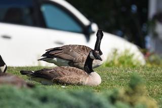 Canada Goose, ML248571321