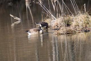 Canada Goose, ML24863651