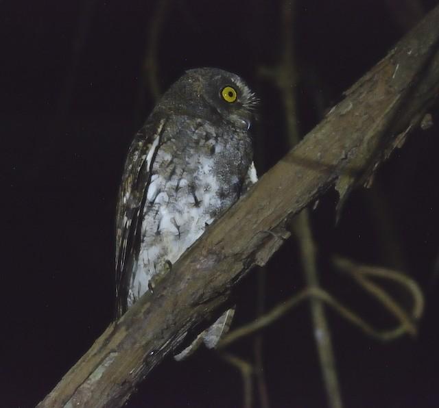 Oriental Scops-Owl (Walden's)