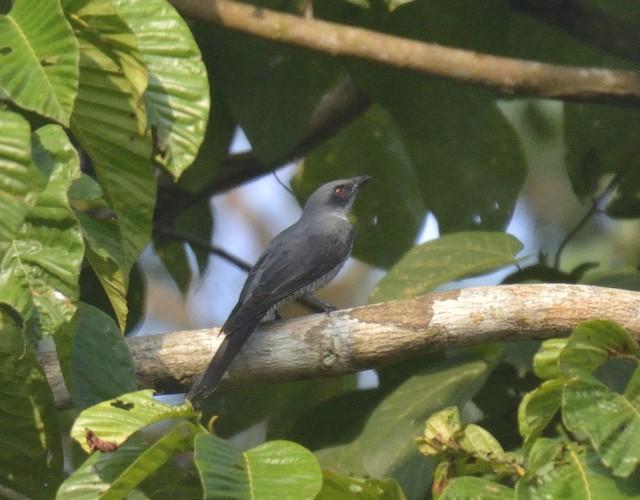 Andaman Cuckooshrike