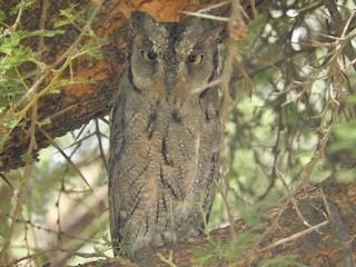 Arabian Scops-Owl, ML248961861