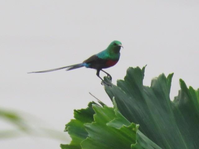 Congo Sunbird - david karr
