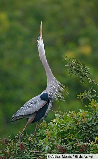 Adult Great Blue Heron stretch display, South Venice, FL, February.