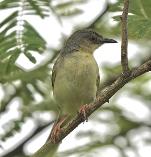 Jungle Prinia (presumably subspecies <em>gangetica</em>).