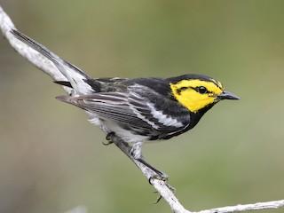- Golden-cheeked Warbler