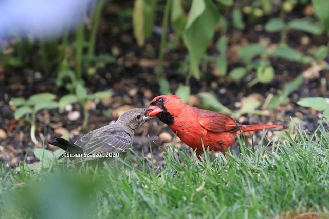 Male Northern Cardinal feeding Brown-headed Cowbird chick.