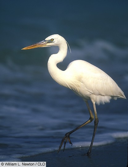 Adult Great Blue Heron (white-morph), Captiva Is., FL.