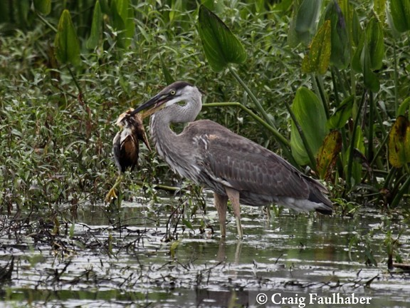 Great Blue Heron eating a Least Bittern (2 of 3)
