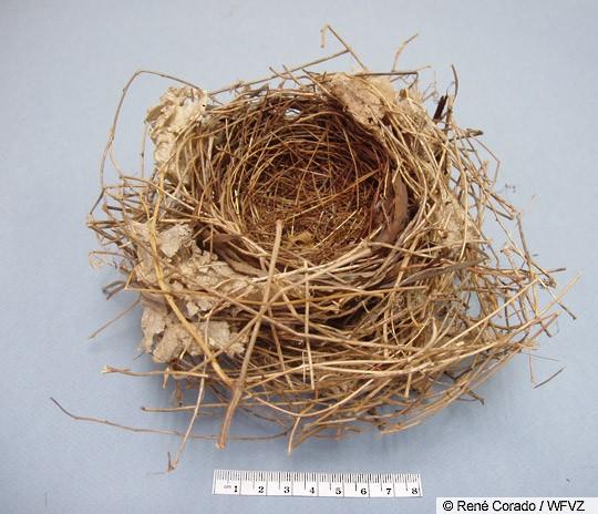 Northern Cardinal nest.