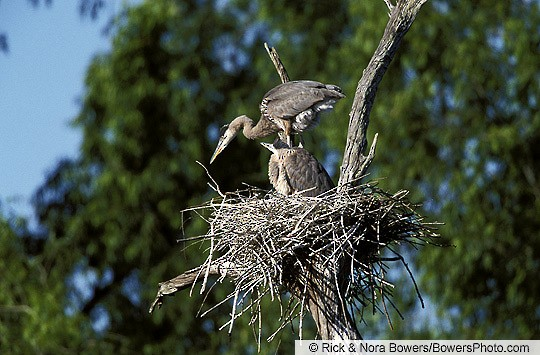Juvenile Great Blue Herons at the nest, Texas, April.