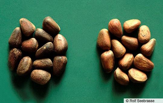 Pinyon pine seeds; key food items for Pinyon Jays.