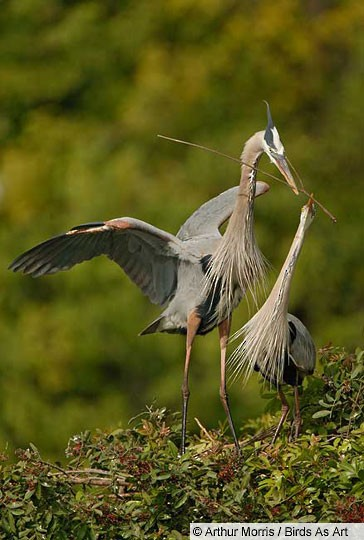Adult Great Blue Heron pair at the nest, South Venice, FL, February.