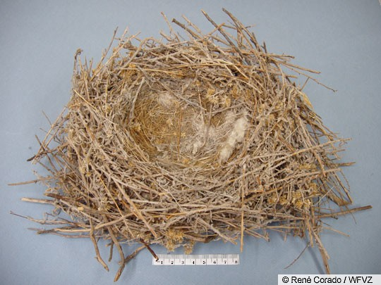 Pinyon Jay nest, California.