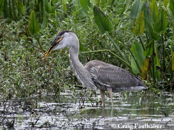Great Blue Heron eating a Least Bittern (3 of 3)