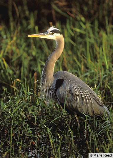 Adult Great Blue Heron, Everglades NP, FL, January.