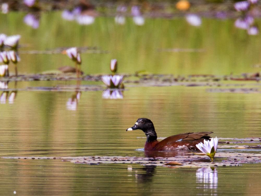 Hartlaub's Duck - Lars Petersson