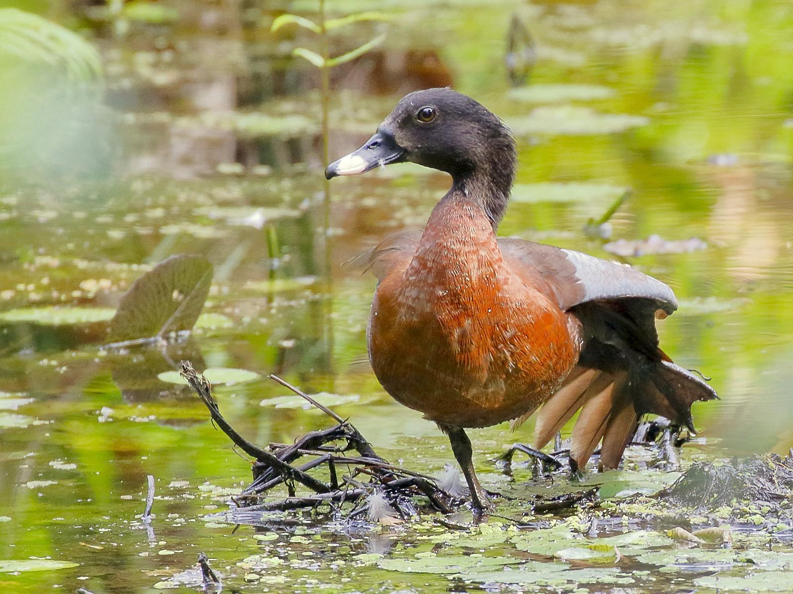 Hartlaub's Duck - Dave Curtis