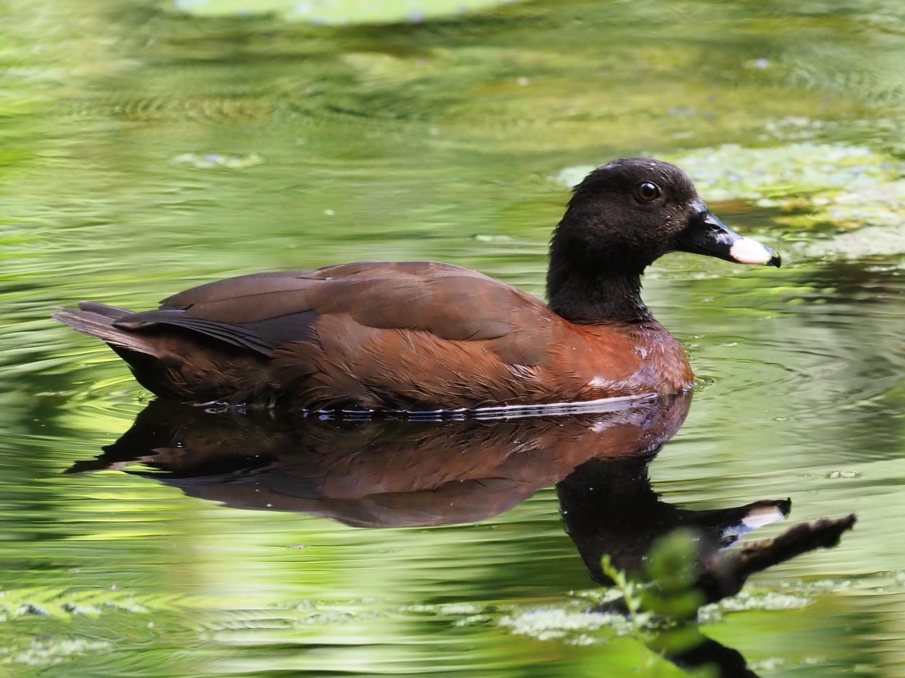 Hartlaub's Duck - Stephan Lorenz