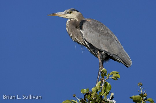Immature Great Blue Heron, Carmel, CA, 23 September.