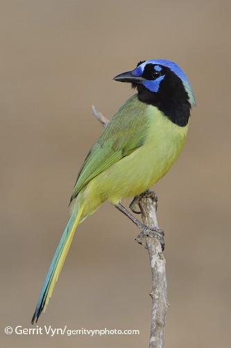 Appearance Green Jay Cyanocorax Yncas Birds Of The World