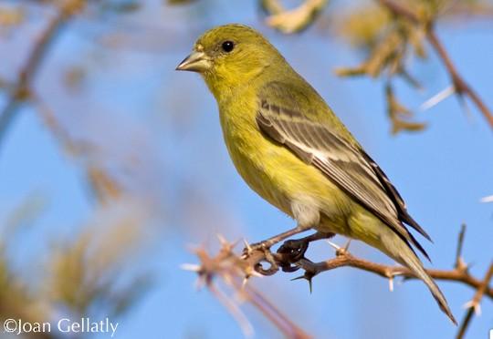 Photos Lesser Goldfinch Spinus Psaltria Birds Of The World