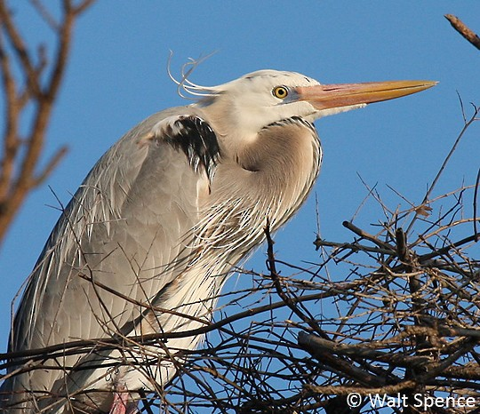 Adult 'Wurdemann's Heron', Florida Panhandle, 7 March.
