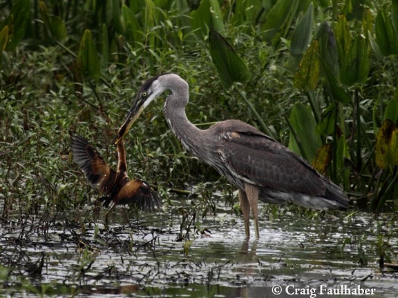 Great Blue Heron eating a Least Bittern (1 of 3), Florida, July