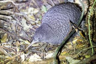 Little Spotted Kiwi, ML24972811
