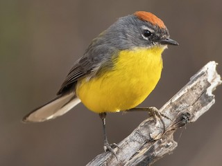 - Brown-capped Redstart