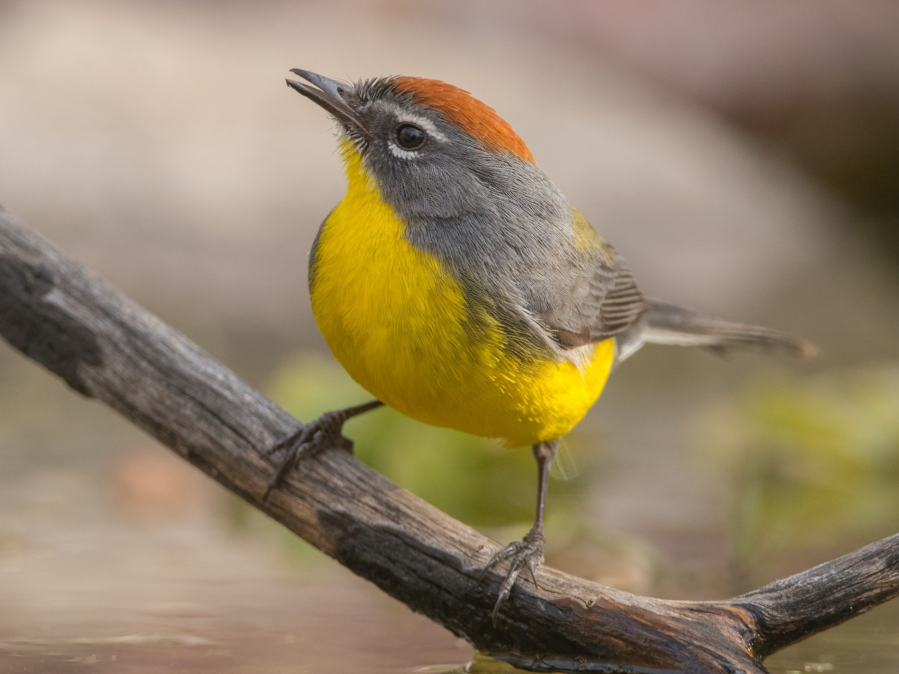 Brown-capped Redstart - Pablo Re