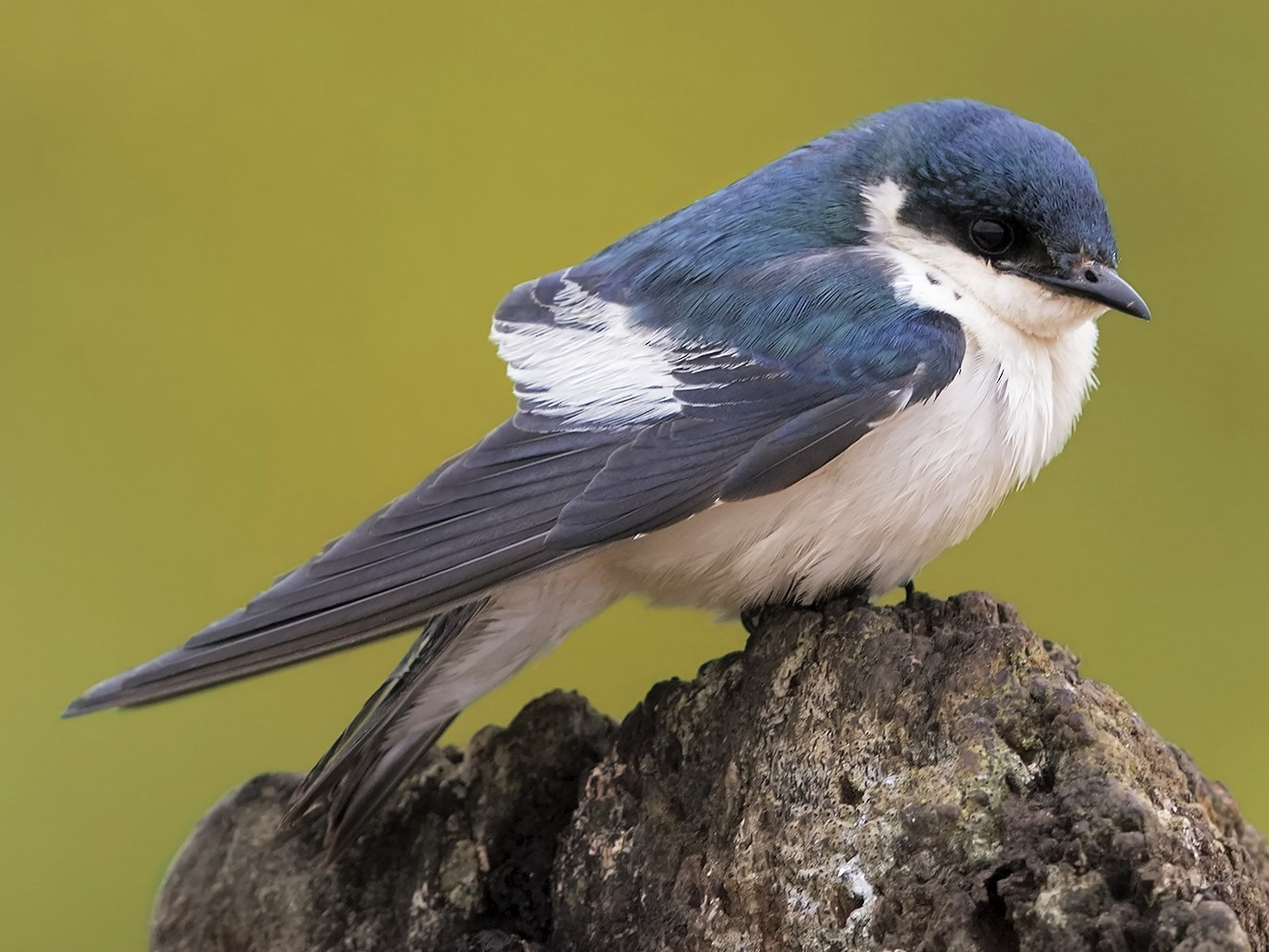 White-winged Swallow - Marco Valentini