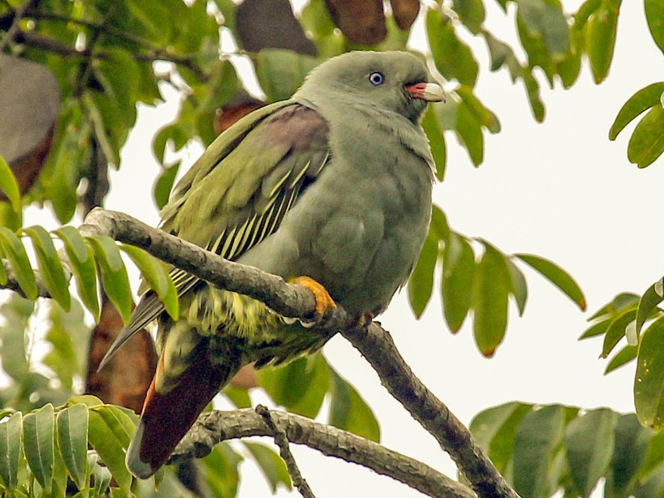 Pemba Green-Pigeon - Phillip Edwards