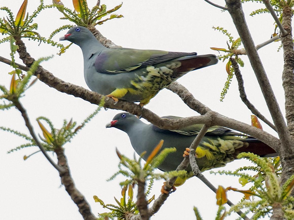 Pemba Green-Pigeon - daniel lopez velasco