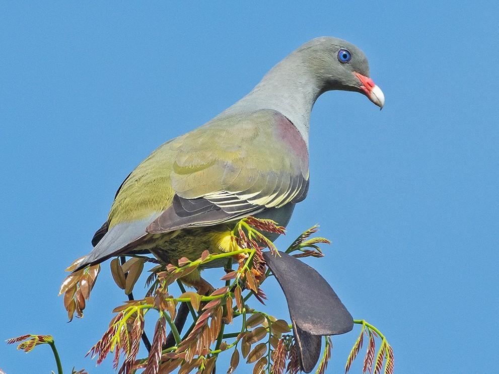 Pemba Green-Pigeon - Poojan Gohil