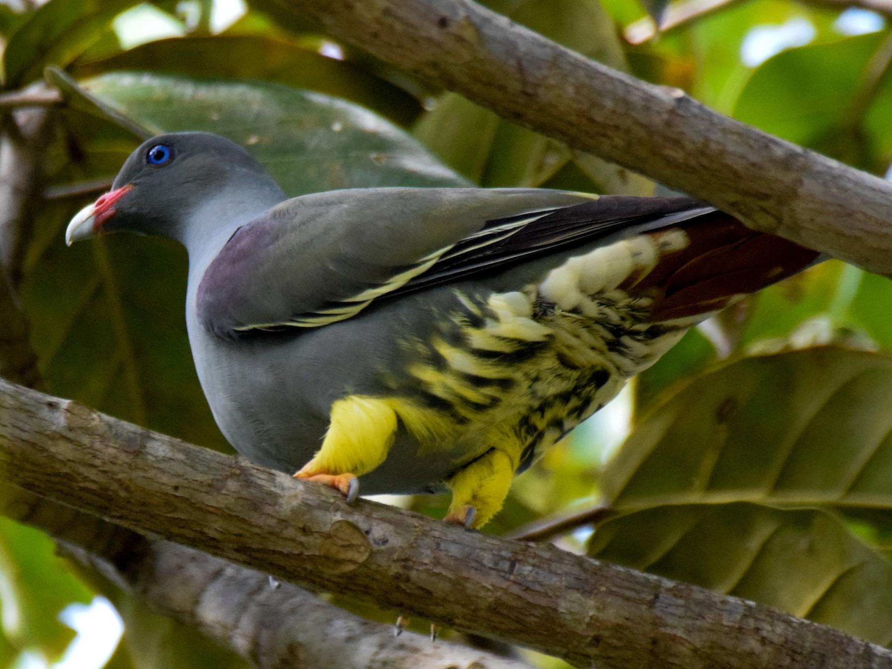Pemba Green-Pigeon - Alison Bentley