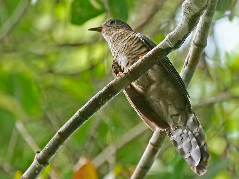 Olive Long-tailed Cuckoo - Nik Borrow