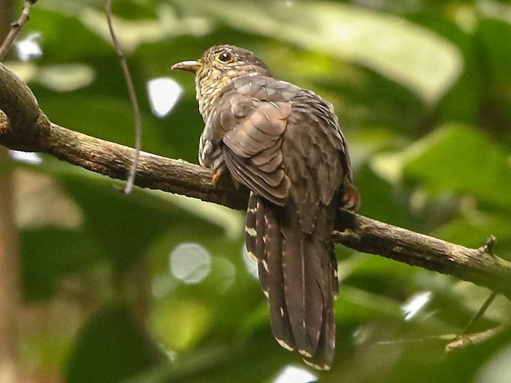 Olive Long-tailed Cuckoo - Markus Lilje