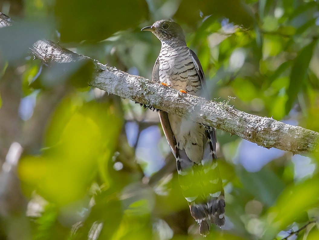 Olive Long-tailed Cuckoo - Niall D Perrins