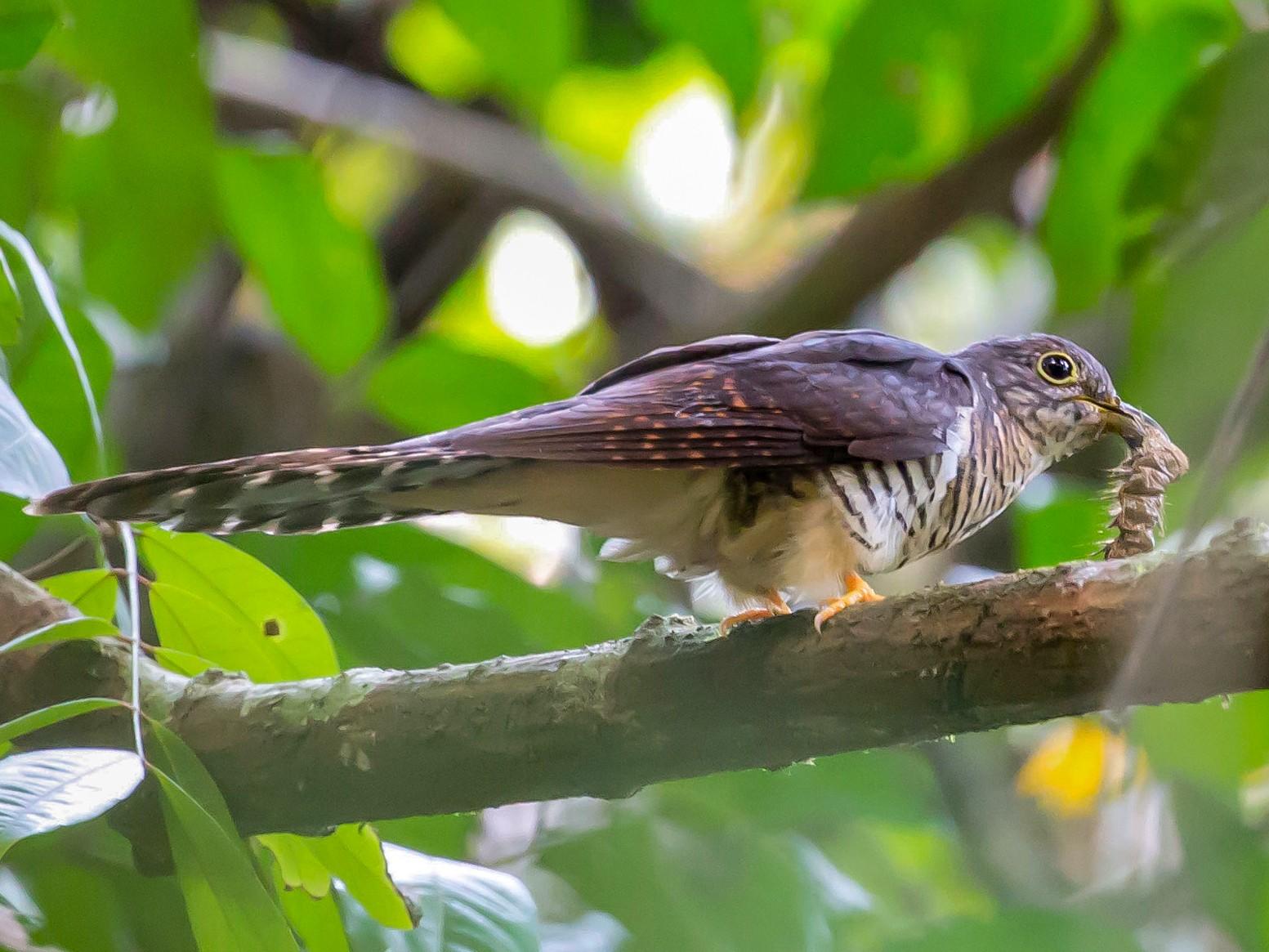 Olive Long-tailed Cuckoo - Jieles van Baalen