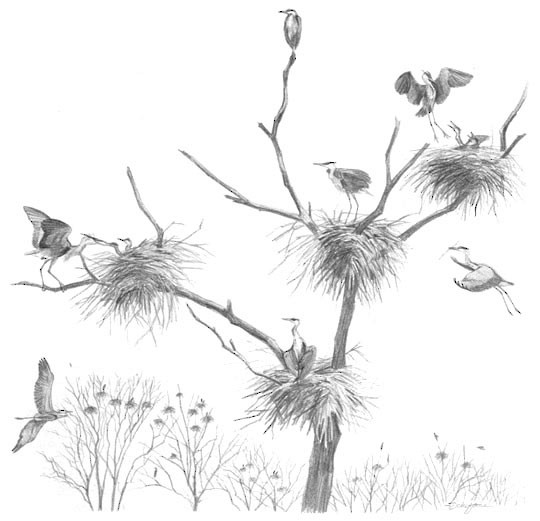 Fig. 4. Most Great Blue Herons nest in colonies.