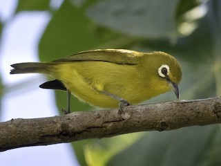 - Yellow-fronted White-eye