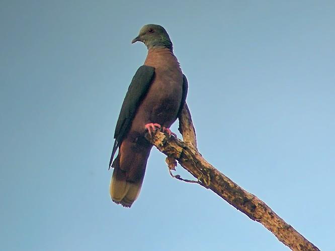 Bronze-naped Pigeon - Nik Borrow
